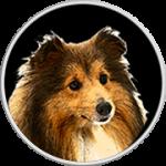 Missy-Shetland Sheepdog